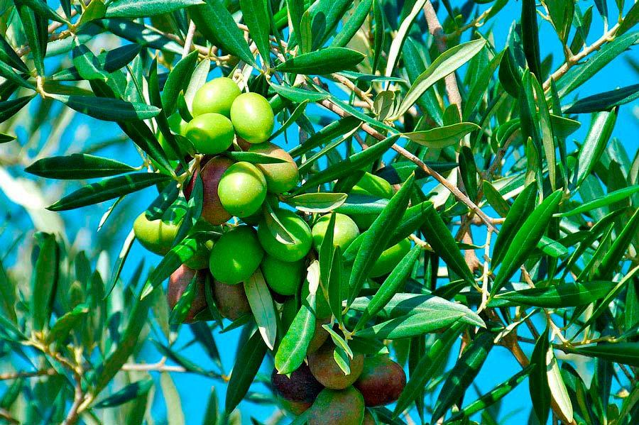 cual es la mejor epoca para sembrar olivos