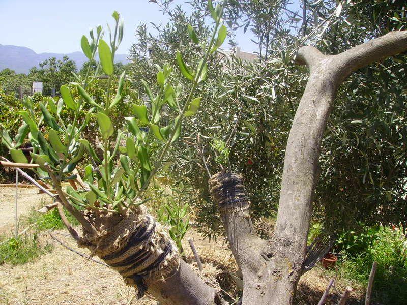 cuando plantar olivos